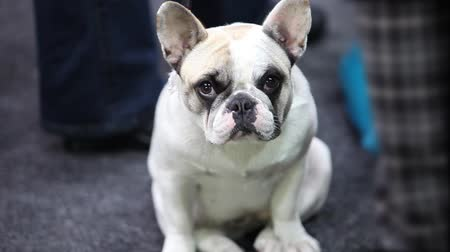 щенок : French bulldog the puppy close-up
