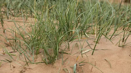 dene : Dunes  sedges on sand   Stock Footage