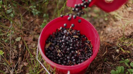 jagody : Fresh blueberries in small bucket Wideo
