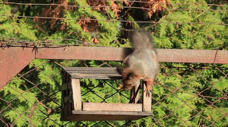 red rodent : Red Squirrel