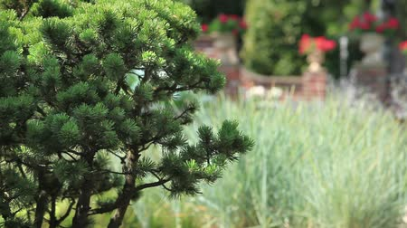 formální zahrada : pine in the garden Landscape Loop ready File