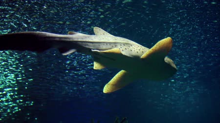 акула : spotted shark close to from top Стоковые видеозаписи