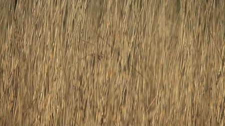 cattail : wilderness dry cattail fast shutter abstract background