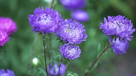 chryzantema : aster flower in the garden close to soft focus