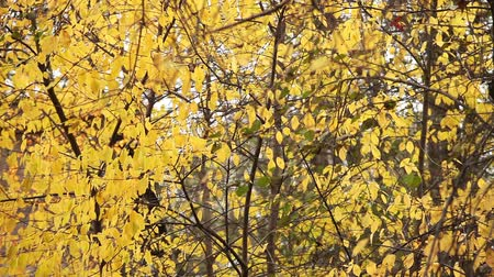 sto : Tree with Yellow Leaves in Autumn background