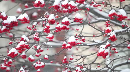 rowanberry : Bunches of red mountain ash under snow camera in motion