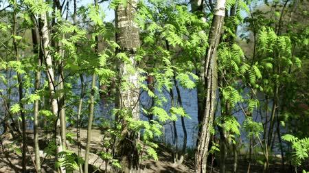 üvez ağacı : Fresh green spring landscape trees at the lake Northern Europe