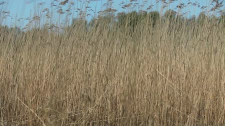 sazlık : Cattail reeds background Stok Video