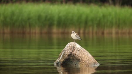 cattail : Nestling seagull basking in the sun on the stone shot of the boat