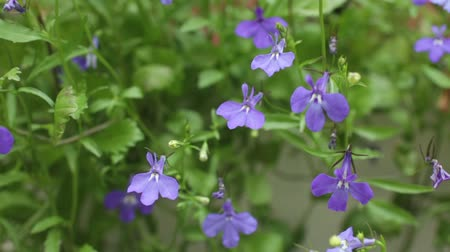 Flower Blue Lobelia