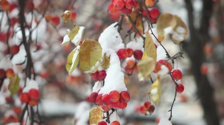 snow flurry : Apple orchard, Red apples under snow, unexpected snowfall,Camera movement bottom to top Stock Footage