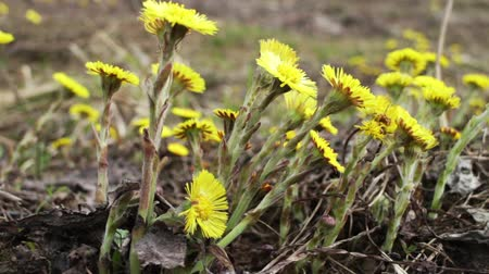 yellow flowers : coltsfoot  Yellow primroses tremble in wind zoom out