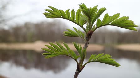 üvez ağacı : Young fresh leaves of mountain ash, gray forest reflected in the river,  early spring,  background Stok Video