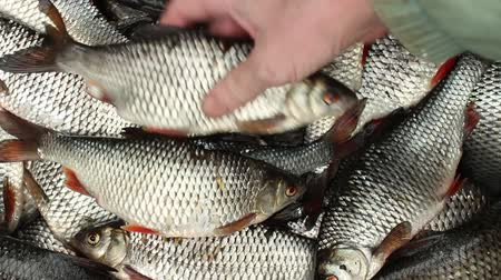 silvery : Successful fishing, fisherman turns live fish  over to a full basket overhead view Stock Footage
