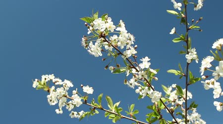 Blooming cherry orchard white flowers close-up Stock Footage