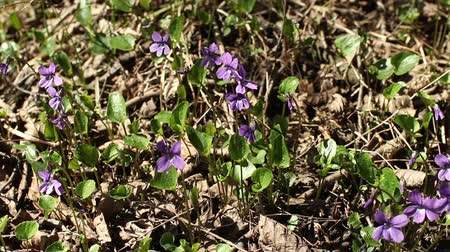 kankalin : violets spring primrose among last years leaves camera motion Stock mozgókép