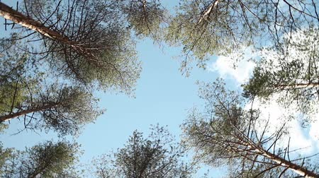 verdant : Dizziness tall trees rotate over head in blue sky Stock Footage