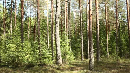 Pine forest in summer, panorama. Stock mozgókép