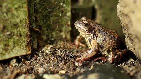 benekli : Goggle-eyed Toad lurking sitting unblinking. Stok Video