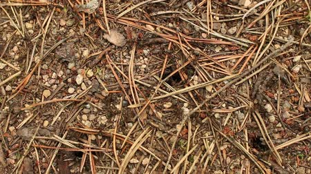 soldiers : colony workers of red wood ant near an anthill close-up