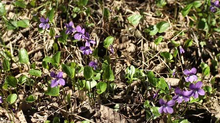 kwiecień : spring primroses violets grew from last years foliage camera in motion Wideo