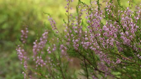 wrzos : Blooming Heather pink close to, wildlife  evergreen blurred background Wideo