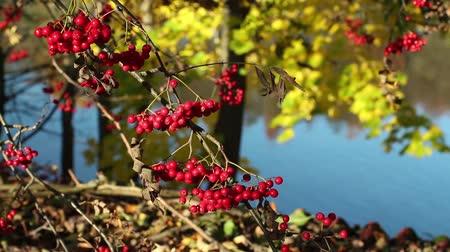 sorbus : Bunches of red mountain ash on the branches in autumn Stock Footage