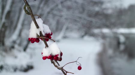 üvez ağacı : Red berries of mountain ash covered with snow winter background