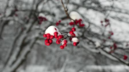 üvez ağacı : Red berries of mountain ash with snow winter