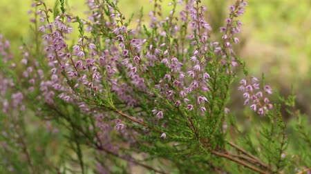 reserva : Blooming evergreen Heather close to, camera motion Stock Footage