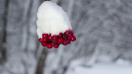 rowanberry : Red berries mountain ash under snow, snowfall, winter storm.