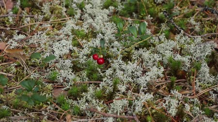 brusinka : lingonberry, red berry cranberry among  moss jagel, camera in motion close-up