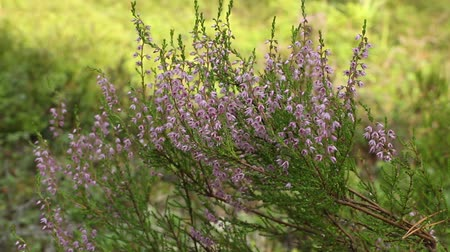 wrzos : evergreen heather blooming close up camera motion