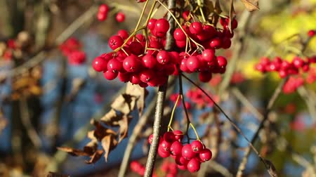 üvez ağacı : bunch berry of bright red mountain ash autumn landscape, a omen to the cold winter
