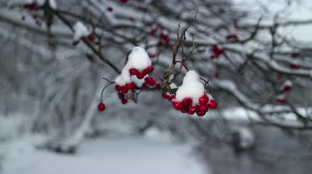 rowanberry : snowfall winter storm red berries mountain ash