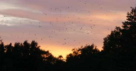 alarmed : A huge flock of alarmed birds in the evening sky at sunset