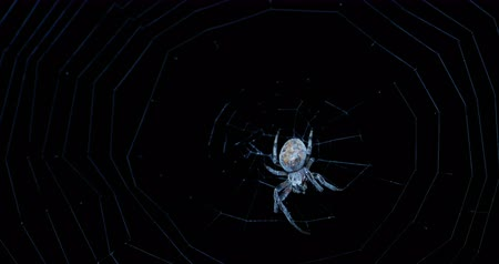 spinneweb : Spin Night Hunter in close-up