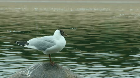 ridibundus : Black-headed gull stands on a stone close-up