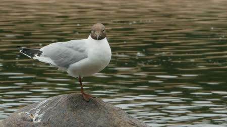 ridibundus : Black headed gull stands on stone close-to