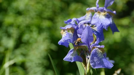 greatness : irises flowers purity, perfection, greatness Stock Footage