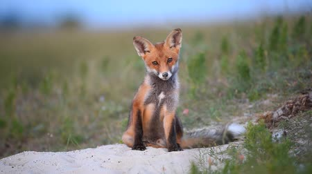 tilki : Little Red Fox sits near their burrows Stok Video