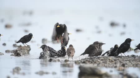 szpak : The group of common starling (Sturnus vulgaris) splashing in the water