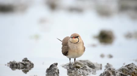 collared : Collared Pratincole (Glareola pratincola) in natural habitat