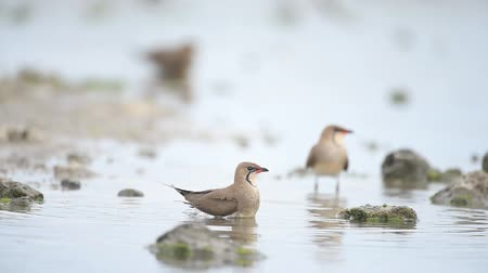 collared : Collared Pratincole (Glareola pratincola) splashing in the water Stock Footage