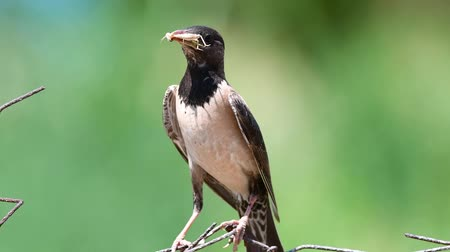 szpak : Rosy Starling (Sturnus roseus) sits on a wire with a grasshoppers in its beak