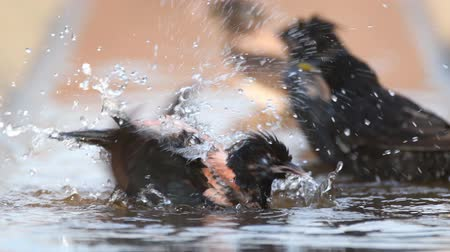 pastor : The rosy Starling (Sturnus roseus) splashing in the water Stock Footage