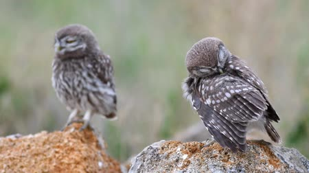 coruja : Two young Little owl (Athene noctua) its on the stone and cleans its feathers