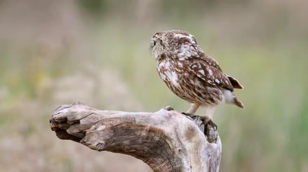 bagoly : Little owl (Athene noctua) sits on a stick and makes disturbing sounds