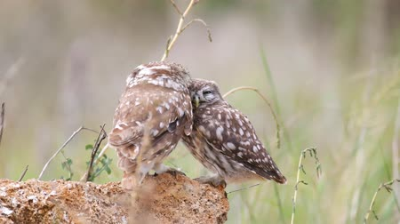 Крым : Adult Little owl (Athene noctua) plays with his chick Стоковые видеозаписи
