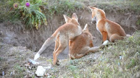лиса : Three Little Red Fox playing near their burrows